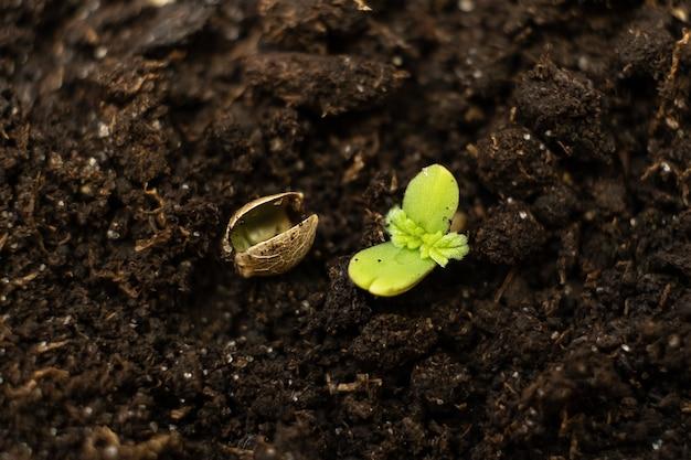 Une jeune plante de cannabis s'étend du sol au soleil et fait germer du grain de marijuana