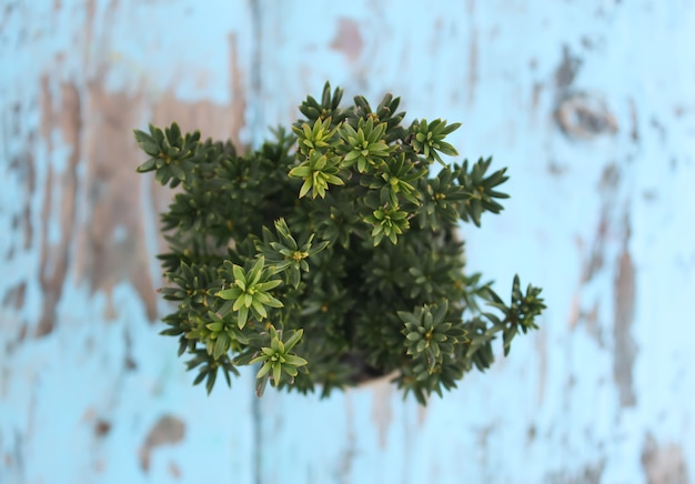 Jeune plante de conifère dans le pot sur une table en bois à l'extérieur.