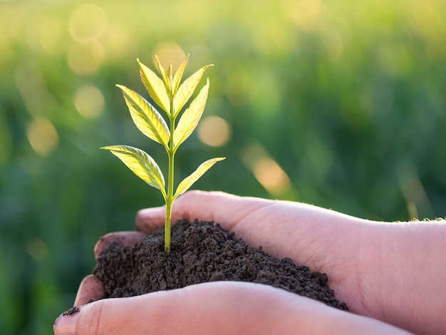 Jeune plante verte dans les mains. nouvelle vie. concept d'écologie