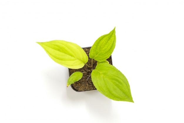 Jeune plantule verte de passiflore dans un pot de fleurs en argile