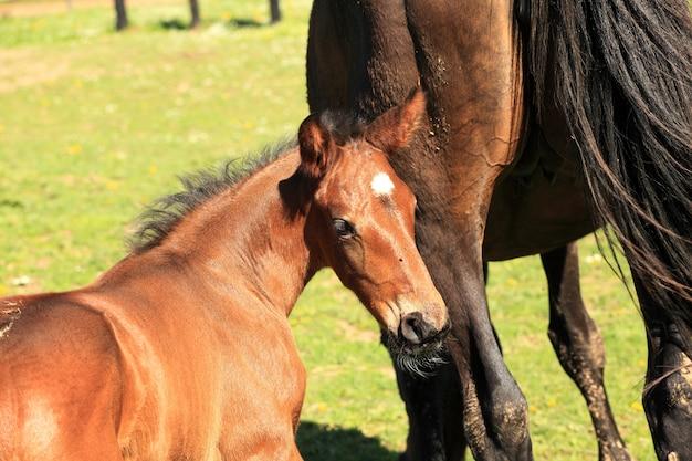 Jeune poulain avec sa mère dans un champ au printemps