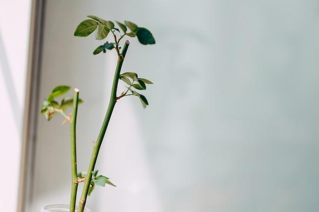 Jeune pousse d'une branche de cynorrhodon.