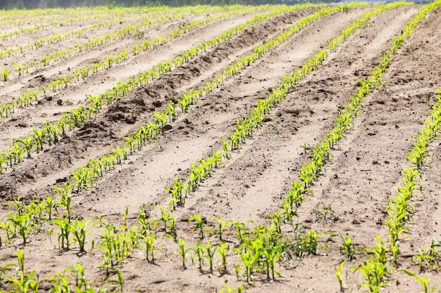 Jeune pousse de maïs - champ agricole, qui pousse de jeunes maïs verts. printemps