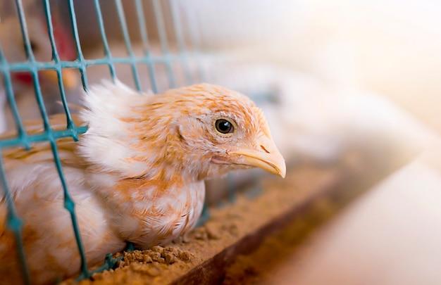Jeune poussin de poule à la ferme à la maison