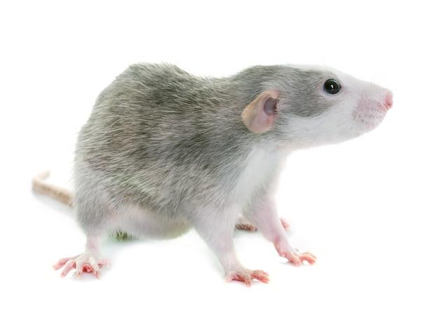 Jeune rat bicolore