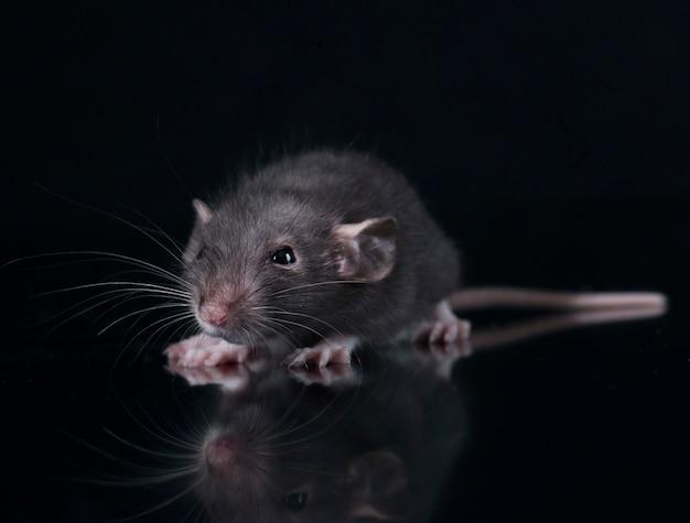 Jeune rat en studio