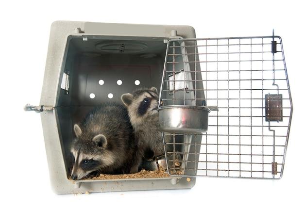 Jeune raton laveur en cage
