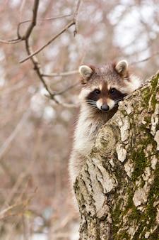 Un jeune raton laveur se gargariser sur un gros plan de tronc d'arbre