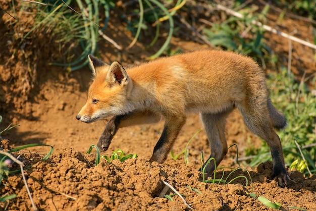 Jeune renard près de son trou.