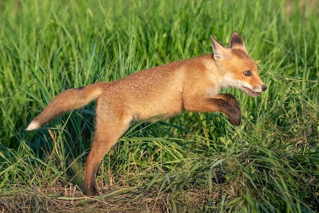 Jeune renard roux sautant dans l'herbe.