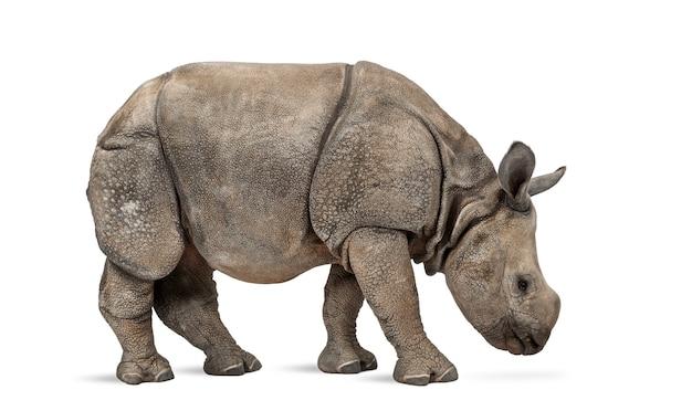 Jeune rhinocéros indien à une corne (8 mois)