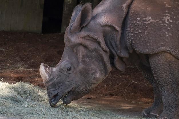 Jeune rhinocéros indien manger et boire