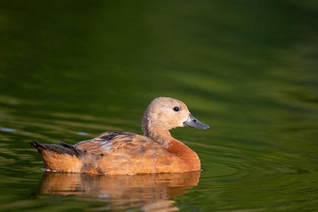 Jeune ruddy shelduck, seul oiseau nage sur le lac.