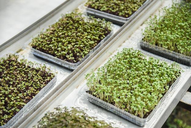Jeune salade verte de laitue de plus en plus en croissance dans la ferme de légume