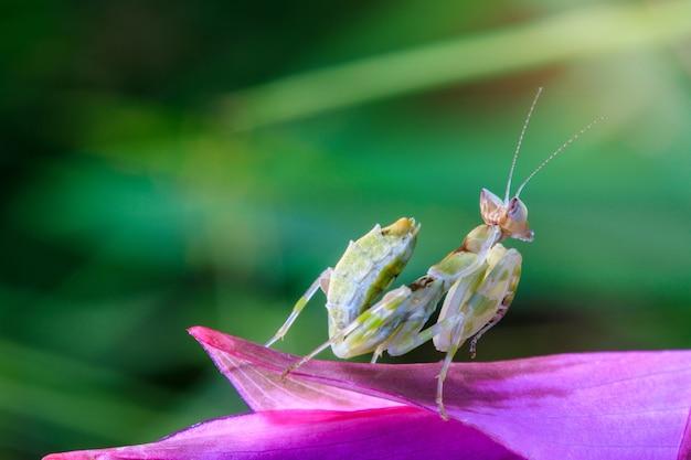 Jeune sauterelle sur la fleur pourpre.