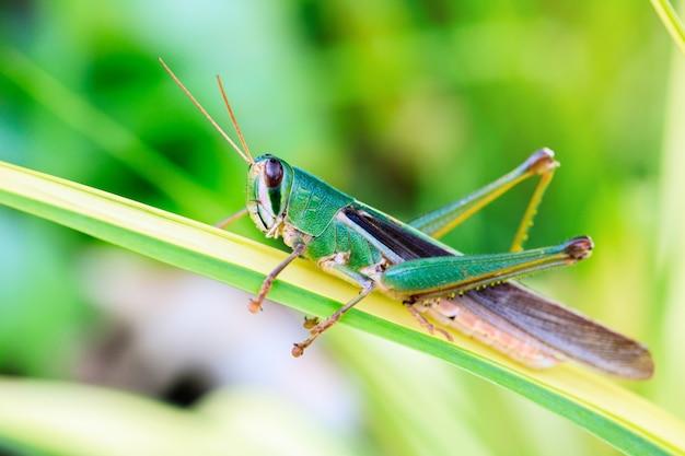 Jeune sauterelle verte sur les feuilles.