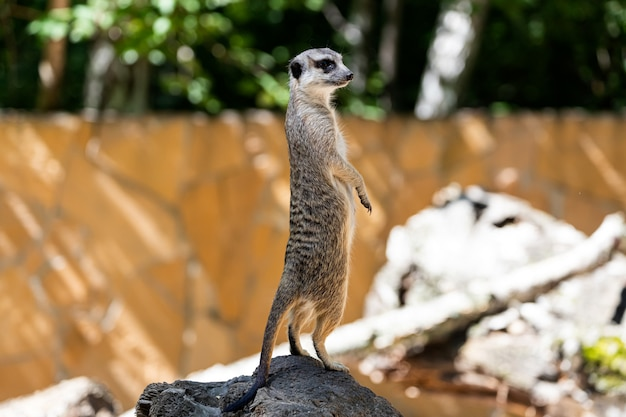 Un jeune suricate se dresse sur une pierre