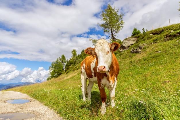 Jeune taureau curieux sur la route dans les alpes italiennes. trentin-haut-adige