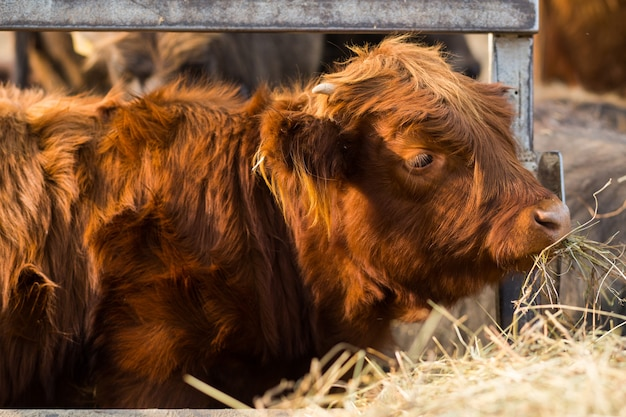 Jeune taureau écossais rouge avec gros plan de cheveux épais et de petites cornes. mâcher du foin et regarder le cadre à la ferme. bovins, animaux dans le village. symbole de la nouvelle année sur le calendrier oriental.