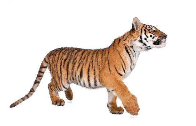 Jeune tigre isolé sur blanc