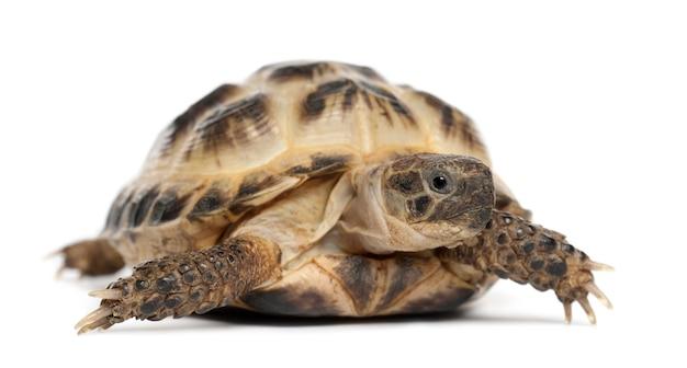 Jeune tortue russe, la tortue de horsfield ou la tortue d'asie centrale, agrionemys horsfieldii, contre l'espace blanc