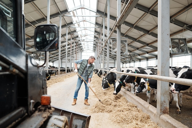 Jeune travailleur de ferme animale contemporaine tournant le foin avec une fourche à foin tout en préparant la nourriture pour les vaches laitières