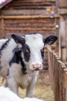 Jeune veau tacheté noir et blanc dans une poursuite en plein air. la vache regarde dans la caméra