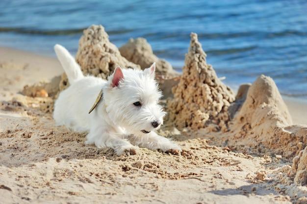 Jeune west highland terrier s'amuser sur la plage de sable