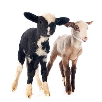 Jeunes agneaux