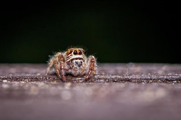 Les jeunes araignée sauteuse macaroeris nidicolens sur une balustrade en bois