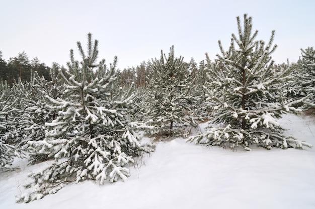 De jeunes arbres de noël enneigés poussent dans une forêt