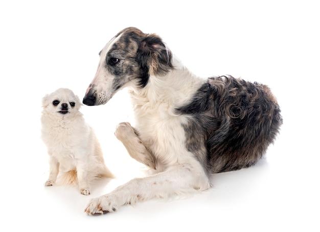Jeunes barzoï et chihuahua