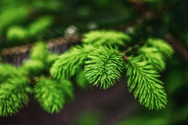 Jeunes branches d'aiguilles, beau fond