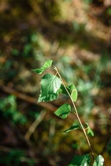Jeunes branches d'un bouleau en forêt