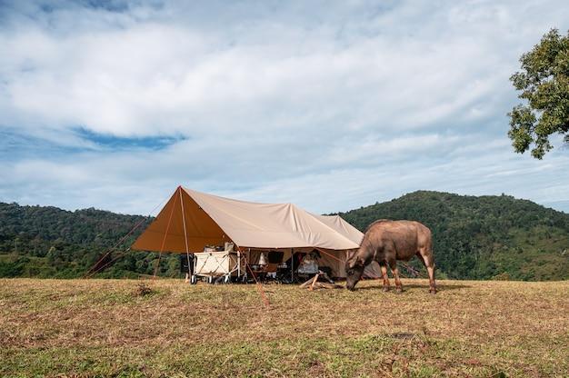 Les jeunes buffles paissant près d'une tente sur une colline en campagne