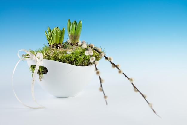 Jeunes bulbes de jacinthes plantés dans un vase blanc