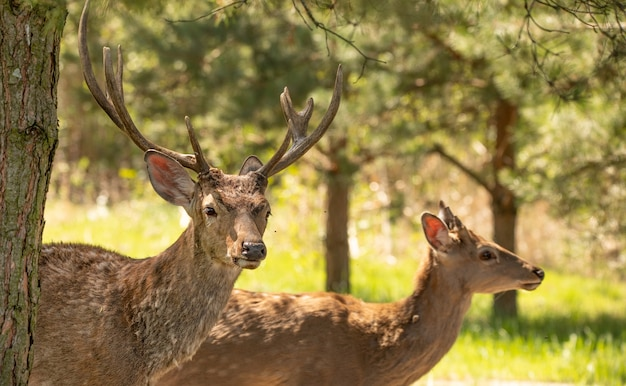 Jeunes cerfs rouges mâles et femelles dans la forêt. cette espèce est précieuse pour sa fourrure et ses cornes, qui attirent l'attention des braconniers.