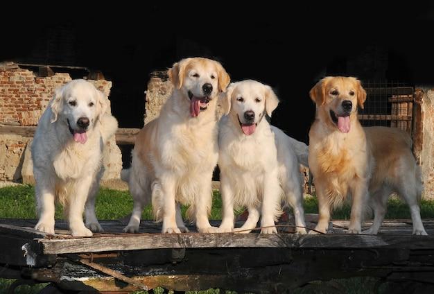 Jeunes chiens golden retriever