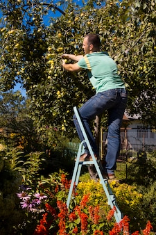 Les jeunes cueillent des pommes