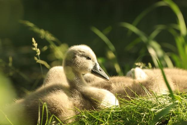 Les jeunes cygnes reposant sur le bord de l'étang de la forêt