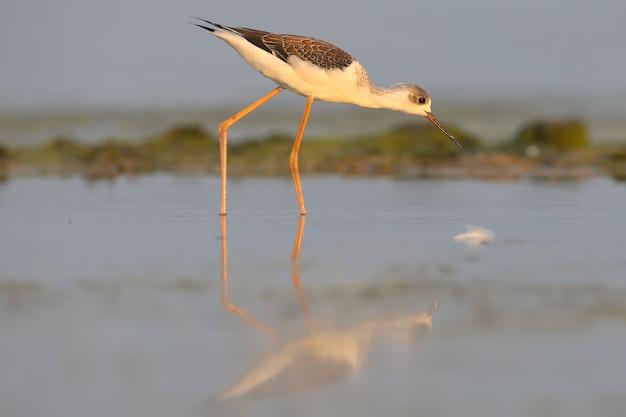 Les jeunes échasses à ailes noires se nourrissent des eaux peu profondes de l'estuaire dans les rayons du soleil levant
