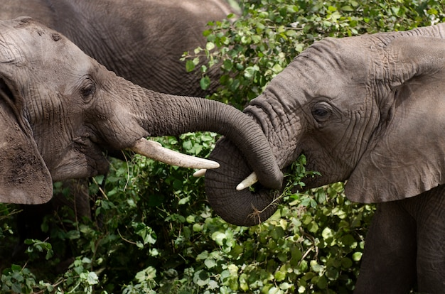 Jeunes éléphants mangeant dans le parc national du serengeti