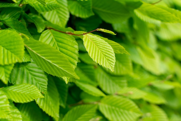 Les jeunes feuilles des arbres vert clair éclairées par le soleil. fond de texture de printemps naturel beau soleil