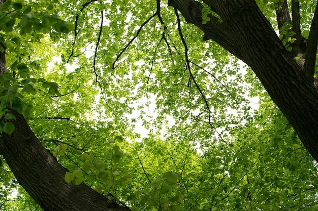 Les jeunes feuilles des arbres vert clair éclairées par le soleil.