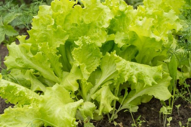 Jeunes feuilles de laitue sur le lit. cultiver des légumes en pleine terre.
