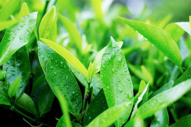 Jeunes feuilles de mouillé au lever du soleil.