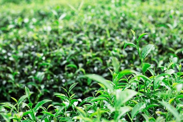 Jeunes feuilles de thé poussant dans les parcelles.
