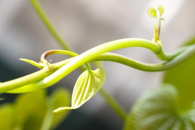 Jeunes feuilles vert clair de lianes tropicales dans un jardin botanique
