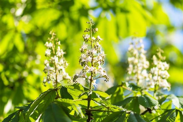 Jeunes feuilles vertes de châtaignier
