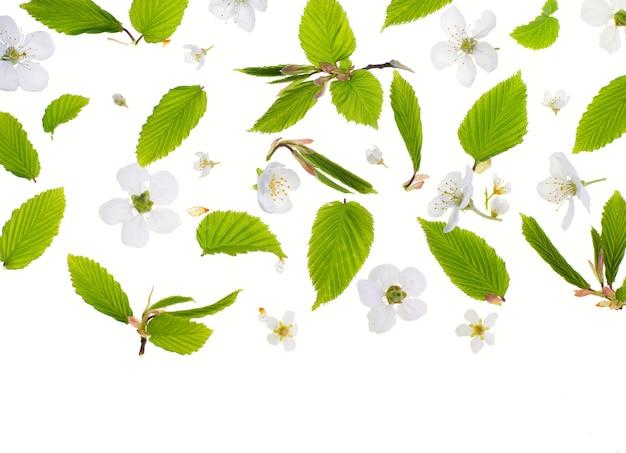 Jeunes feuilles vertes fraîches et fleurs de cerisier. beau fond saisonnier de printemps.